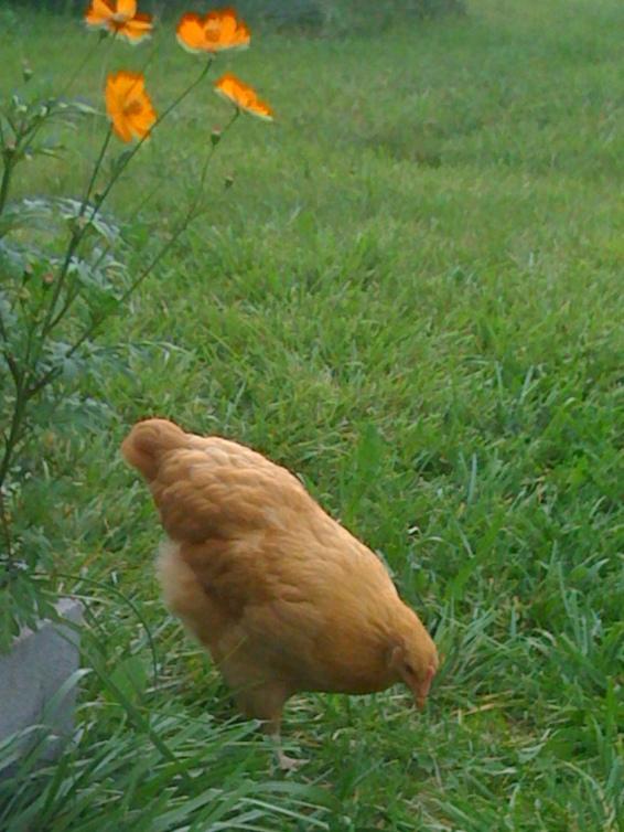 Free range hens are happy hens!