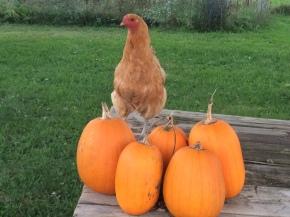 Pumpkins are a favorite treat!
